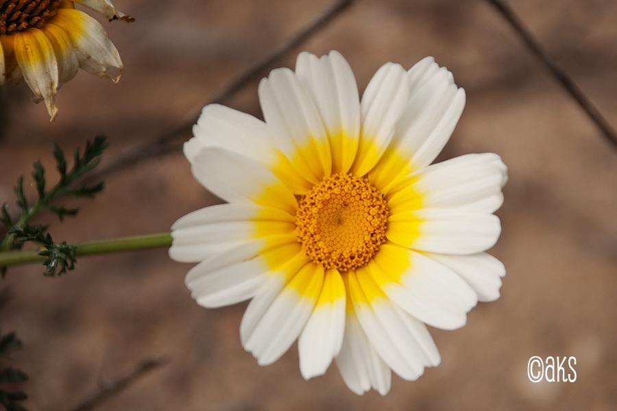 Blomplockning