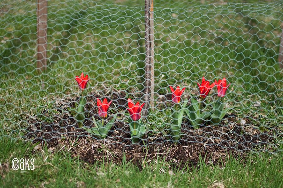 Tulpaner bakom galler