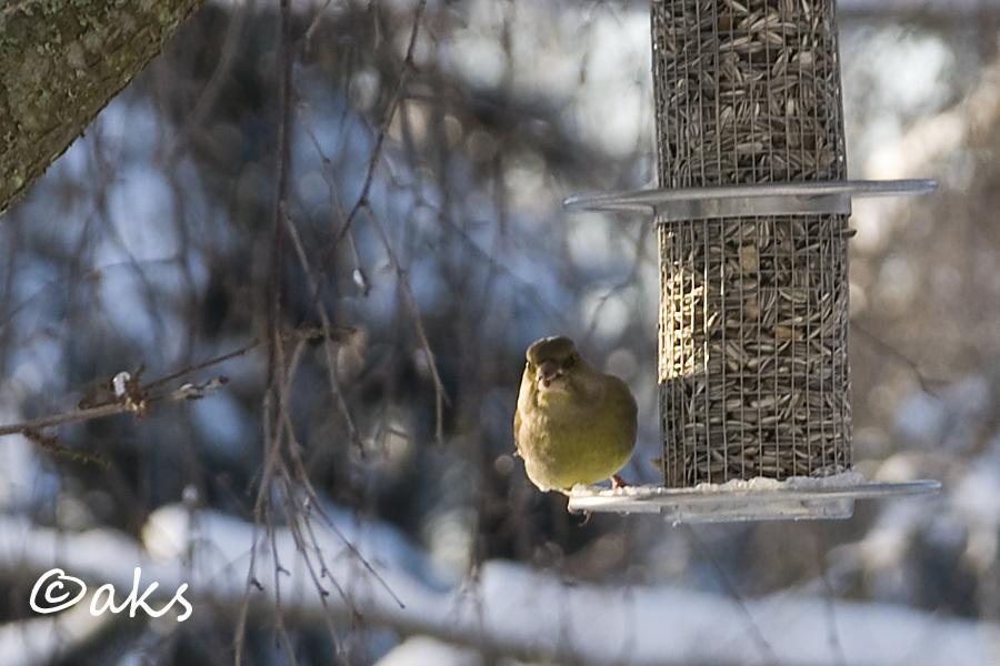 Grönfink vid fågelautomat